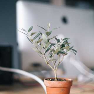 Small potted tree with iMac in the background